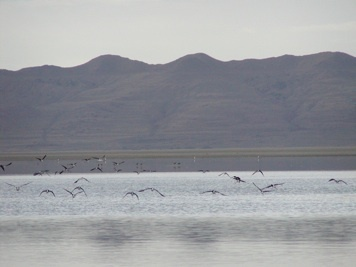 Migratory Birds at the Great Salt Lake