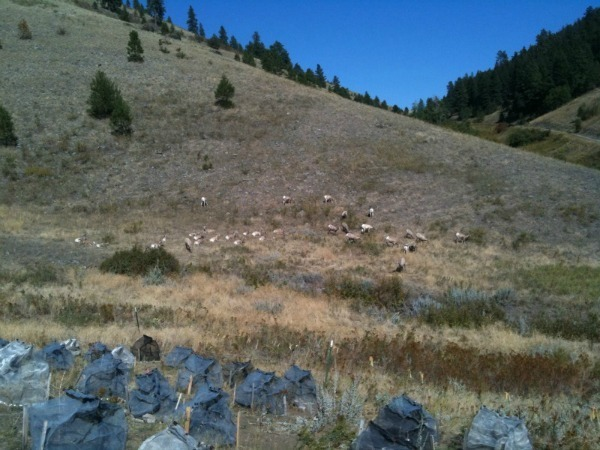 Competition cages at Trisky Site with Big-Horn Sheep grazing nearby